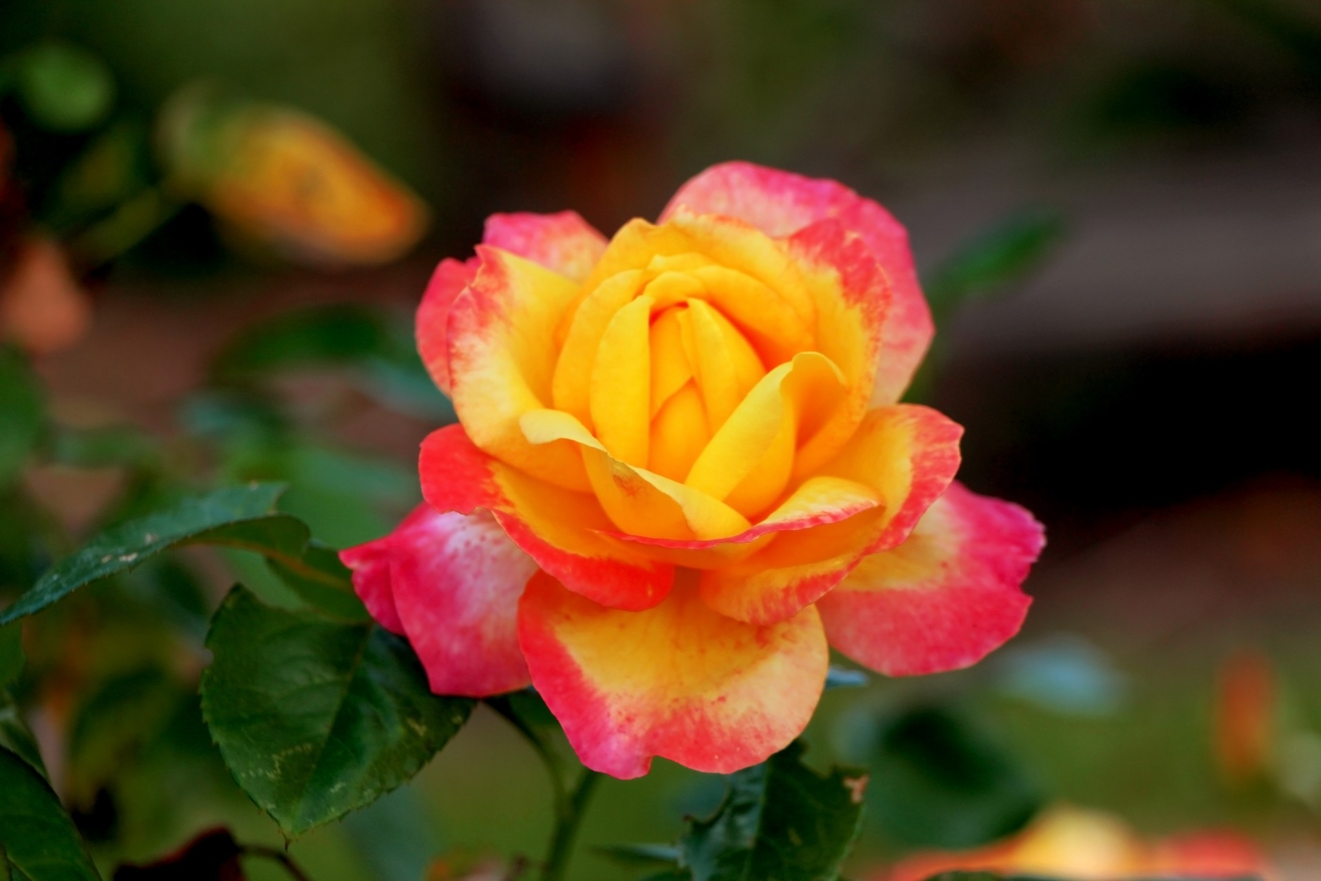 pink-yellow-rose